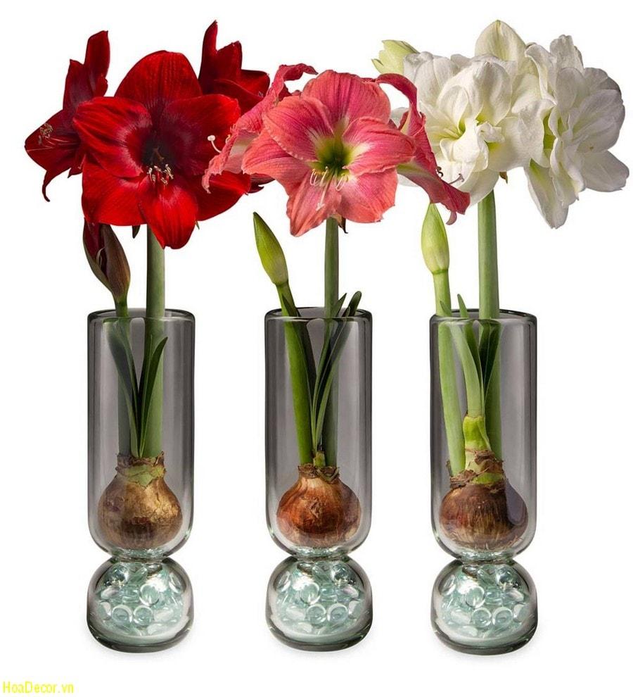 Hoa Amaryllis